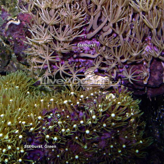 Pet Supplies Careful Saltwater Green Starburst Polyps Coral Great Tank Starters!!