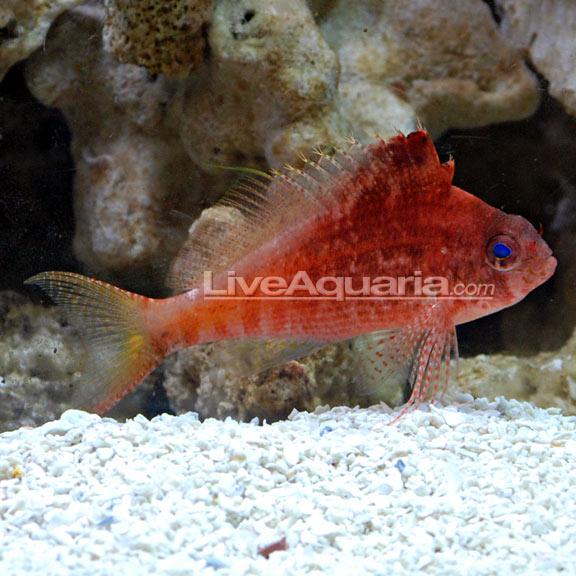 Hawkfish   Red Hawkfish