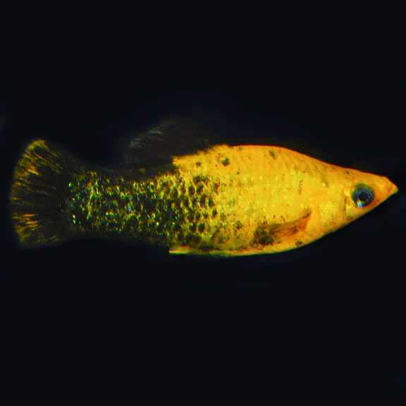 tropical fish for freshwater aquariums gold doubloon molly