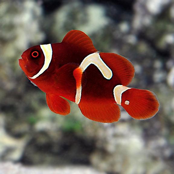 Saltwater Aquarium Corals for Marine Reef Aquariums