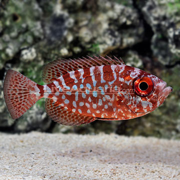 Glass Eye Squirrelfish