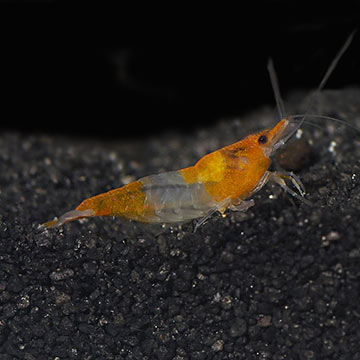 Orange Rili Shrimp