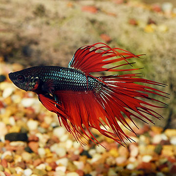 Crown Tail Betta Siamese Fighting Fish: Tropical Fish for ... - photo#35