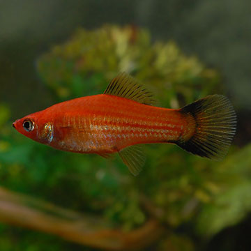 Tropical Fish for Freshwater Aquariums: Red Wag Swordtail