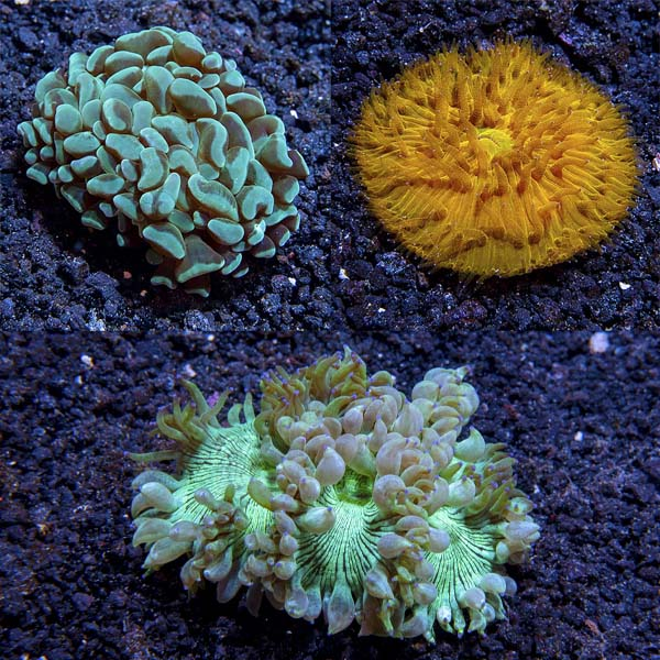 Assorted Aussie LPS Coral 3 Pack