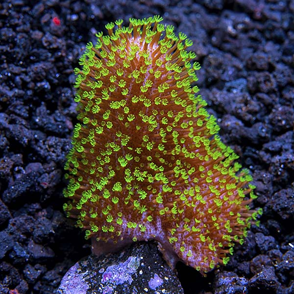 Soft Coral 3 Pack, Maricultured