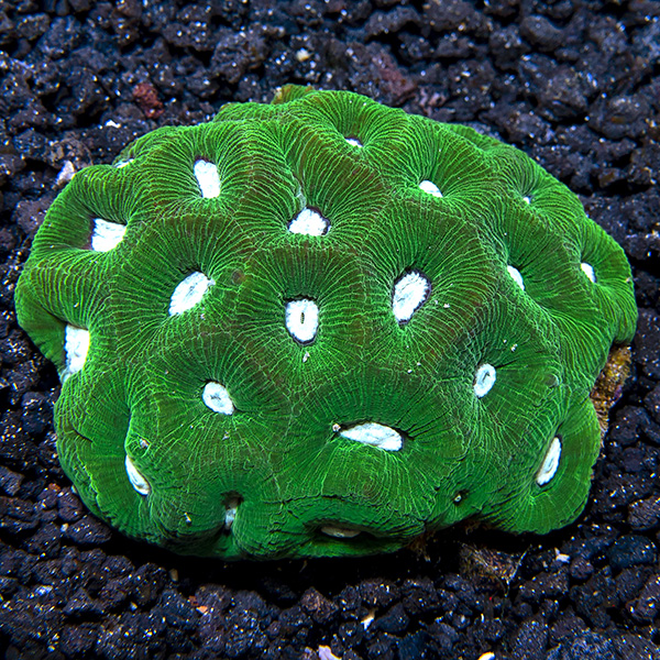 Goniastrea Coral, Green w/Neon Green Centers