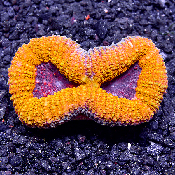 Australian Open Brain Coral, Orange & Purple