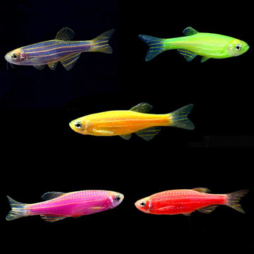 GloFish® Danio Assorted 10 Pack