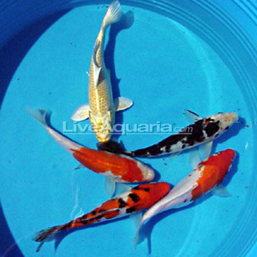 Aquarium fish tropical freshwater fish and saltwater fish for Hardiest pond fish