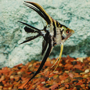 Marble Veil Angel Tropical Fish For Freshwater Aquariums