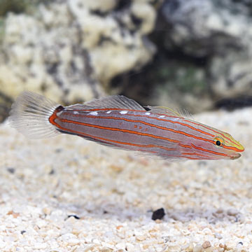 Court Jester Goby