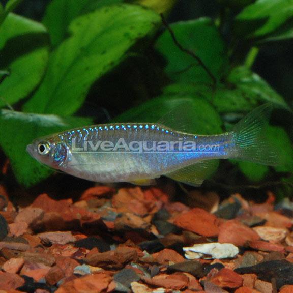 Freshwater Aquarium Fish Fire Eel