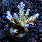 ORA® Aquacultured Corals