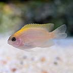 Pink Smith Damselfish, Captive-Bred ORA®