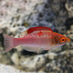 Red-Fin Fairy Wrasse