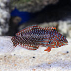 Ornate Leopard Wrasse