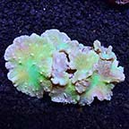 Cabbage Leather Coral
