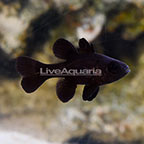 Black Cardinalfish, Captive-Bred ORA®