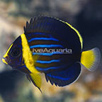 Blueline Angelfish, Captive-Bred