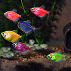 GloFish® Tetra Assorted 10 Pack