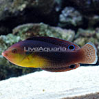 Yellowchest Twist Wrasse