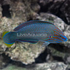 Grey Head Wrasse