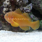 Clown Goby, Citrinis