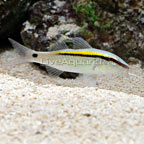Yellow Back Goatfish