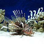 Volitan Lionfish, Colored
