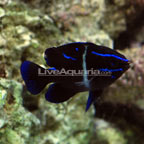 Blue Velvet Damselfish