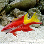 Cuban Hogfish