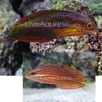 Red-Lined Wrasse