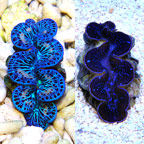 Maxima Clam, Blue/Turquoise - Aquacultured