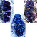 Blue Maxima Clam - Aquacultured