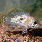 Green Terror New Woeld Cichlid