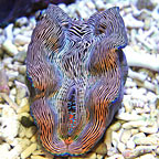 Derasa Clam, Striped with Blue Rim - Aquacultured