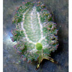 Lettuce Sea Slug, Green