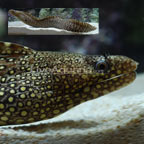 Jeweled Moray Eel