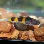 Brackish Bumble Bee Goby