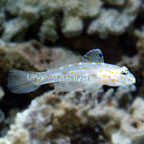 Cave Transparent Goby