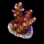 Premium Acropora Frag 5 Pack, Aquacultured ORA®