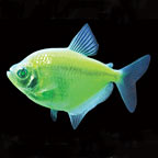 GloFish®, Electric Green® Tetra