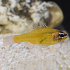 Yellow Cardinalfish