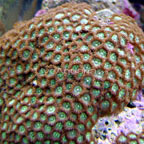 Coral Polyps: Colonial Coral and Button Polyp Corals