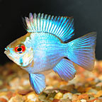Electric Blue Balloon Ram