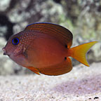 Two Spot Bristletooth Tang