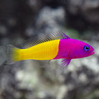 Pseudochromis for Sale: Splendid Dottyback Species and other Pseudochromis