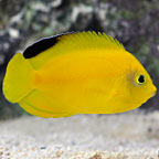 Yellow & Black Heraldi Angelfish