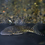 Pitbull (LDA 25) Plecostomus